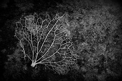 106.365.2016 (johnny the cow) Tags: blackandwhite macro monochrome leaves wales dead skeleton photo leaf decay diary cymru ivy aberystwyth collection 365 corpse spines catalogue ceredigion 2016 aphotoaday 366 llanafan