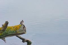 moineau domestique (TATIUMZI) Tags: france sony tokina marais oiseaux sudouest aquitaine gironde leteich sonyalpha moineaudomestique tokina30028 sonyalpha700