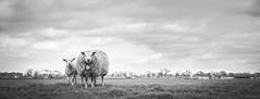 Nr.20 (DC P) Tags: blackandwhite panorama black holland blanco netherlands animal animals landscape blackwhite spring fantastic noir sheep farm ngc farming national lamb soe bej fantasticnature blackwhitepassionaward
