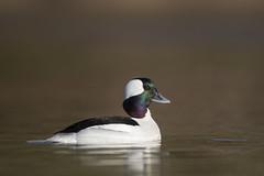 Petit garrot / Bufflehead (fpoet_63) Tags: lake bird water duck pond wildlife lac bufflehead iridescence canard irridescent goldenhour petit irridescence garrot