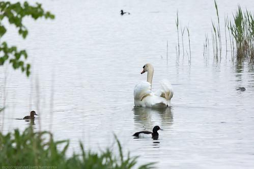 Mute Swan in Lilla Holmen