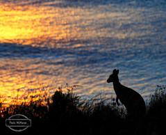 Kanga (Paula McManus) Tags: travel sunset sea nature animal silhouette olympus kangaroo adelaide 70300mm southaustralia fleurieupeninsula em10 capejervis paulamcmanus olympusomd