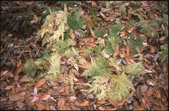 (bensn) Tags: plants green film grass leaves rocks pentax ground slide limited provia fa lx 100f f19 43mm
