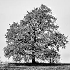 A Notion of Spring... (Ody on the mount) Tags: bw monochrome silhouette de deutschland pflanzen sw highkey bume wanderung metzingen badenwrttemberg schwbischealb anlsse