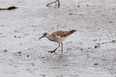 Ruff or Reeve (martytdx) Tags: male birds nj ruff lifer rarity shorebird nonbreedingplumage philomachuspugnax philomachus scolopacidae heislerville heislervillewma