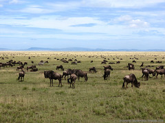 Wildebeasts in the Serengeti - Gnous dans le Serengeti (charbonjoh) Tags: naturemasterclass