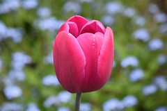 Tulip (careth@2012) Tags: nature petals spring