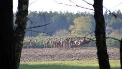 Hirschrudel / Deer pack (r.stopable1) Tags: natur feld wald reddeer niedersachsen lowersaxony rotwild eschede deerpack sdheide rebberlah starkshorn hirschrudel cellerland