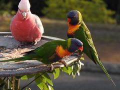 bright as a pair of Rainbow Lorrikeets and a Pink Galah (jeaniephelan) Tags: bird parrots rainbowlorikeets galah australianbird pinkgalah tasmanianbird