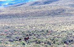 Only the beginning (prairiegirrl) Tags: wyoming wildhorses mustangs foal greenmountain