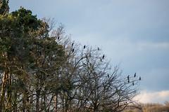 A tree that grows cormorants... (derliebewolf) Tags: trees sunset sky nature birds de deutschland wildlife natur birding sachsen cormorant vgel goldenhour moritzburg d600 sigmalens sigma150600c