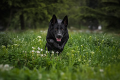 """Grandmother, what big eyes you have!"" (DigitalBite) Tags: wild dog grass canon spring eyes dogphotography gsd germanshepherddog canon85mmf18usm blackgsd 5dmarkiii"
