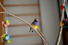 DSC_3679 (Jenny Yang) Tags: pet bird lady finch gouldian 小呆 胡錦鳥 小蕃茄