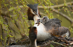 Feeding Willow Tree Seeds? (Alastair Marsh Photography) Tags: baby lake bird water birds nest feeding wildlife yorkshire feathers feather seed waterbird chick seeds willow chicks feed babybird britishwildlife grebe humbug nesting willowtree babybirds greatcrestedgrebe grebes britishbirds greatcrestedgrebes greatcrestedgrebechick greatcrestedgrebechicks britishanimals greatcrestedgrebenest yorkshirewildlife britishanimal greatcrestedgrebesfeeding humbugchick