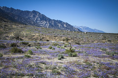 Field of Dreams: Mojave Super Bloom (Life_After_Death - Shannon Day) Tags: life california road blue sunset sky white mountain mountains art nature rock stone pine forest canon movie landscape outdoors photography eos death evening rocks day arch mt view purple desert natural outdoor nevada alabama grand super panoramic sierra hills shannon national whitney mojave granite bloom lone after archway mtwhitney dslr mountwhitney eastern canondslr canoneos majesty sierranevadamountains alabamahills inyo lifeafterdeath 50d shannonday canoneos50d eosdslr superbloom canoneos50ddslr lifeafterdeathstudios lifeafterdeathphotography shannondayphotography shannondaylifeafterdeath lifeafterdeathstudiosartandphotography shannondayartandphotography