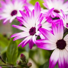 Strong Pink (David S Wilson) Tags: uk flowers england flower ely fens flowersplants 2016 panasonicdmcgf1 davidswilson adobelightroom6 lumixg117425asphlens