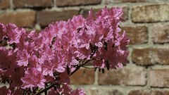 Azaleas on Brick (Lawrence OP) Tags: washingtondc azaleas arboretum national