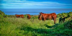 Moo! (C.G.Photos) Tags: coverack cornwall cliffs cows holidays coast