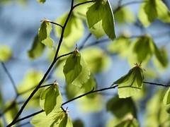 New leaves (peeteninge) Tags: tree green nature leaves groen natuur boom bladeren