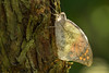 Just hatched out and letting dry the wings (Amrue) Tags: animals butterfly switzerland insekten schmetterlinge metamorphose papiliorama