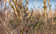 Meadow pipit in the bush (Dadriel) Tags: camouflage shrubbery meadowpipit wiesenpieper