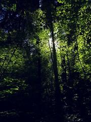 Komorebi II (Chancelrie) Tags: plant forest maple outdoor acer komorebi