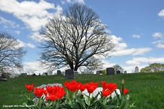 The Beauty Of Solitude (Trish Mayo) Tags: flowers cemetery spring tulips greenwoodcemetery greenwood redtulips thebestofday gnneniyisi