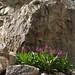 Parry primrose, Primula parryi