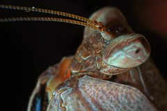Hestialusa major, Giant boxer mantis, adult male (_papilio) Tags: macro mantis major sony invertebrate papilio mantid arthropod a7ii boxermantis hestiasula zeissmakroplanart100mmf2