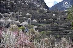 Beautiful Hunza with Blossom (Furqan LW) Tags: pakistan nature beautiful blossom hunza gilgit furqan furqanlw