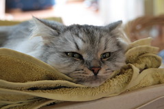 Meine Katze ist beleidigt /  My cat is insulted (2/2) (Vasquezz) Tags: cat katze siberian siberiancat sibirische  fussel forestcat waldkatze bestofcats sibirisch sibirischekatze