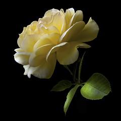 Rose Y (Explore) (Pixel Fusion) Tags: flower macro nature rose flora nikon d600