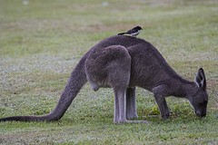 Kangaroo with Willie Wagtail (Geoffsnaps) Tags: bird animal fur ed nikon head feathers australia panoramic kangaroo newsouthwales carbon nikkor fx gitzo vr afs monopod acratech williewagtail 200500mm d810 nikond810 halfwaycreek gm5541 monopodhead f56e gitzogm5541carbonmonopod acratechpanoramichead nikonnikkor200500mmf56eedvrafs