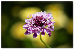 Pincushion flower (Creative_Pixels (On/Off Busy)) Tags: flowers light summer flower nature floral fleur beauty yellow closeup garden photography petals flora pin dof purple artistic bokeh cottage jardin australia pale daisy botanic organic pincushion cushion pinkish frilly scabiosa 2015 dipsacaceae