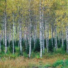 Roadside Birches - Fuji Provia 400x (magnus.joensson) Tags: autumn plant tree 6x6 zeiss forest landscape fuji sweden outdoor swedish hasselblad fujifilm birch roadside provia e6 dalarna birches sälen 500cm sonnar 180mm 400x