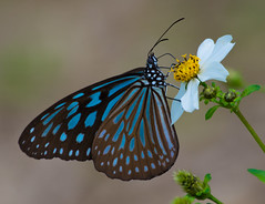 Blue Tiger (Tirumala hamata) (Changer4Ever) Tags: life flower color macro nature animal butterfly insect nikon colorful dof bokeh outdoor d7200