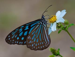 Blue Tiger (Tirumala hamata)
