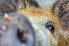 DSC_0017 (AF Art - Photography) Tags: animal pig porcos pigs animais porco