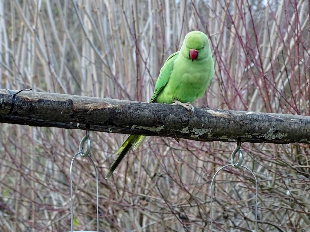 The world 39 s best photos of oiseau and parakeet flickr for Oiseau france