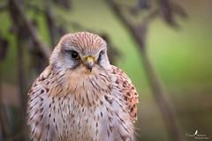 Paysage (Franck Sebert) Tags: bird animal canon eos is mark tags des ii 7d l common extérieur oiseau f28 kestrel tinnunculus falco fevrier 2016 faucon femelle ajouter crécerelle bêta ef14x ef400mm