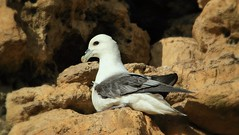 Fulmar (Mick Lowe) Tags: sea cliff coast fulmar