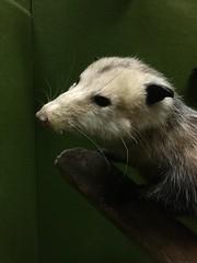 The Oakamoor opossum (quimby) Tags: art museum opossum gallery potteries oakamoor