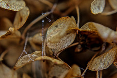 Strung Up (Gabriel FW Koch) Tags: autumn macro nature rain closeup strand canon outside necklace beads droplets drops nice outdoor small spiderweb bubbles pearls dew tiny greatshot brownleaves macrolens fallscene