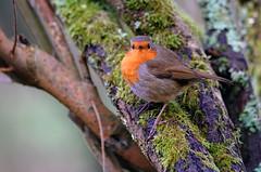 Robin 18 1 2016 1 (Rattyman76) Tags: robin l silverdale leightonmoss sonya7rii