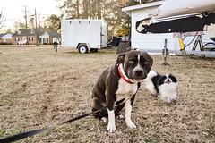 (brandonc21@rocketmail.com) Tags: winter cute dogs virginia puppies pitbull va pomchi