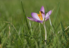 Krokus mit Fliege (svensonkra26) Tags: winter krokus frhjahr frhblher