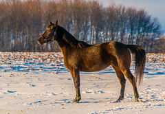 FACING THE MORNING SUN (Wade.J.) Tags: ranch morning winter horse sun snow cold nova rising novascotia farm sheffield scotia mills tamron150600 wadejanes
