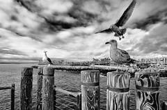 Calm before the... (rikiomgawa) Tags: sky birds clouds harbor nikon seagull redondobeach lightroom d7000 silverexpro rokinonlens
