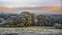 Sun on their backs.   SLPoTY - Section winner ( Explored ). (AlbOst) Tags: winter misty scotland sheep frosty explore wintersun mistymorning d7100 mistclearing slpoty