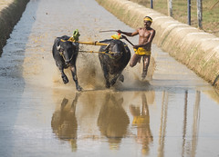 _D756513-2 (The Ranzi) Tags: india motion sports water dedication race speed cow buffalo action bull freeze watersports custom panning southindia sportsphotography actionphotography buffalorace kambala fastpanning